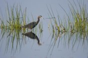 Tom Vezo - Little Blue Heron wading through wetland, Rio Grande Valley, Texas