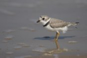 Tom Vezo - Piping Plover wading in shallow water, Rio Grande Valley, Texas