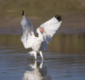 Tom Vezo - White Ibis landing, Rio Grande Valley, Texas