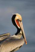 Tom Vezo - Brown Pelican adult portrait, California
