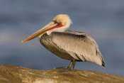 Tom Vezo - Brown Pelican adult, California
