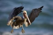 Tom Vezo - Brown Pelican flying, California