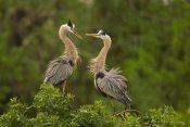 Tom Vezo - Great Blue Heron pair interacting, Venice, Florida