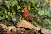 Tom Vezo - Northern Cardinal male, Santa Rita Mountains, Arizona