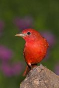 Tom Vezo - Summer Tanager male, Rio Grande Valley, Texas