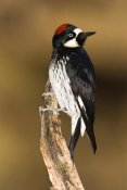 Tom Vezo - Acorn Woodpecker female, Madera Canyon, Arizona