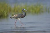Tom Vezo - Tricolored Heron foraging in wetland, Rio Grande Valley, Texas