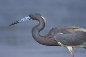Tom Vezo - Tricolored Heron hunting, Rio Grande Valley, Texas