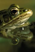 Heidi and Hans-Juergen Koch - Northern Leopard Frog, native to North America