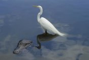 Heidi and Hans-Juergen Koch - Great Egret standing on an American Alligator , Florida