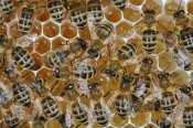 Heidi and Hans-Juergen Koch - Honey Bees on honeycomb filled with honey,  Germany