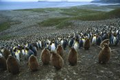 Colin Monteath - King Penguin colony , Bay of Isles, South Georgia Island