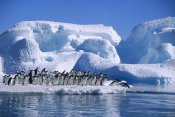Colin Monteath - Adelie Penguins diving from icefloe in Hope Bay, Antarctica