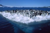 Colin Monteath - Adelie Penguins on icefloe in Hope Bay, Antarctic Peninsula, Antarctica