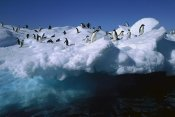 Colin Monteath - Adelie Penguins on iceberg in Hope Bay, Antarctic Peninsula, Antarctica