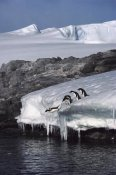 Colin Monteath - Five Adelie Penguins diving from ice edge into water, Point Martin, Antarctica