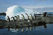 Colin Monteath - Adelie Penguins coming ashore to rookery, Brown Bluff, Antarctica