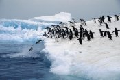 Colin Monteath - Adelie Penguins leaping from small iceberg, Weddell Sea, Antarctica