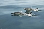 Barbara Todd - Common Dolphin pair surfacing, Kaikoura, New Zealand