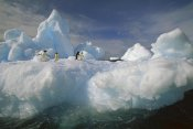 Colin Monteath - Adelie Penguin group on iceberg, Terre Adelie Land, east Antarctica
