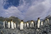 Colin Monteath - King Penguin group on rocky beach, Royal Bay, South Georgia, Antarctica