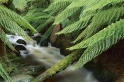 Shaun Barnett - Tree Fern over stream, Tasmania
