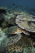 Hiroya Minakuchi - Green Sea Turtle on coral reef, Sipadan Island, Celebes Sea, Borneo