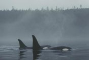 Hiroya Minakuchi - Orca male and female surfacing , Johnstone Strait, BC, Canada