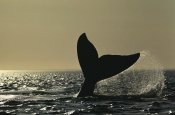 Hiroya Minakuchi - Southern Right Whale tail slap at sunset, Valdes Peninsula, Argentina