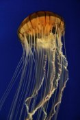 Hiroya Minakuchi - Pacific Sea Nettle spreading tentacles, aquarium, Japan