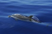 Hiroya Minakuchi - Pantropical Spotted Dolphin surfacing, Ogasawara Island, Japan
