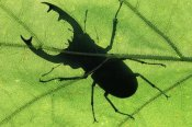 Jan Vermeer - Stag Beetle silhouette of male stag beetle on leaf, Europe