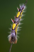 Ingo Arndt - Blue Morpho butterfly, caterpillar on twig