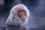 Ingo Arndt - Japanese Macaque adult soaking in hot springs, Japan