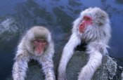 Ingo Arndt - Japanese Macaque adult and young soaking in hot springs, Japan