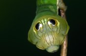 Ingo Arndt - Dead-leaf Moth caterpillar exhibiting false eye spots