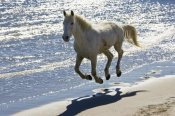 Konrad Wothe - Camargue Horse running on the beach, Camargue, France