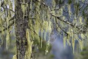Konrad Wothe - Pine trees covered with bearded lichens, Mitkof Island, southeast Alaska