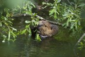 Konrad Wothe - American Beaver eating willow, Alaska