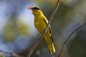 Konrad Wothe - Black-naped Oriole , India