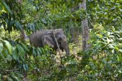 Konrad Wothe - Asian Elephant working in rainforest, Havelock Island, India
