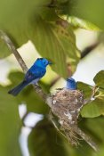 Konrad Wothe - Black-naped Monarch pair at nest, India