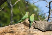 Konrad Wothe - Rose-ringed Parakeet pair, south India