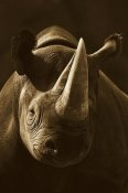 San Diego Zoo - Black Rhinoceros portrait, native to Africa - Sepia