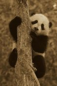 San Diego Zoo - Giant Panda cub in tree, native to China - Sepia