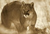 Tim Fitzharris - Mountain Lion portrait in winter, Montana - Sepia