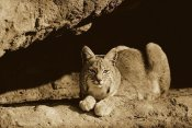 Tim Fitzharris - Bobcat adult resting on rock ledge, North America - Sepia