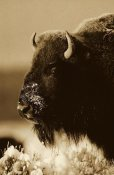 Tim Fitzharris - American Bison portrait in snow, North America - Sepia