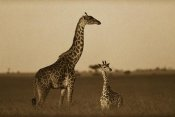Tim Fitzharris - Giraffe adult and foal on savanna, Kenya - Sepia