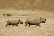 Konrad Wothe - Black Rhinoceros and calf crossing savannah, Ngorongoro Crater, Tanzania - Sepia